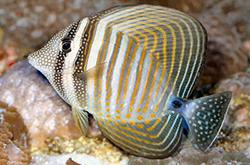 zebrasoma-desjardinii_importfish