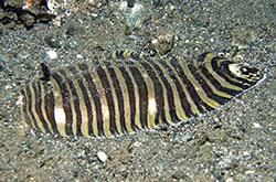 zebrias-zebra_importfish
