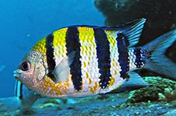 Abudefduf_Vaigiensis_importfish