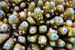 Acropora_Digitate