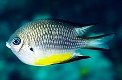 Amblyglyphidodon_Leucogaster_importfish