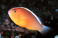 Amphiprion_Akallopisos_importfish