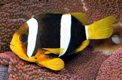 Amphiprion_Allardi_importfish