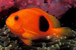 Amphiprion_Ephippium_importfish
