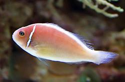 Amphiprion_Perideraion_importfish