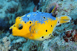Arothron_Nigropunctatus2_importfish