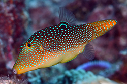 Canthigaster_Solandri_importfish