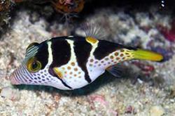 Canthigaster_Valentini_importfish