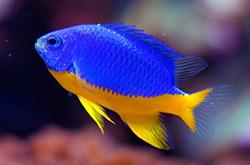 Chrysiptera_Hemicyanea_importfish