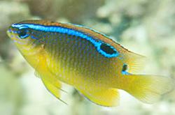Chrysiptera_Leucopoma_importfish