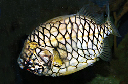 Cleidopus_Gloriamaris_importfish