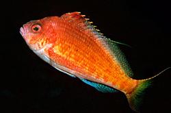 Cyprinocirrhites_Polyactis_importfish