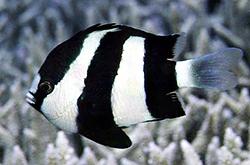 Dascyllus_Aruanus_importfish