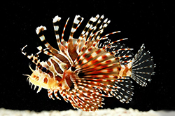 Dendrochirus_Zebra_importfish
