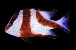 Lutjanus_sebae__importfish