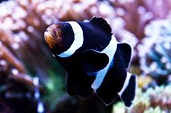 Negro_Clown_Papua_importfish
