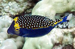 Ostracion_Meleagris_importfish