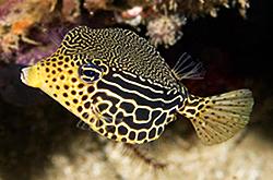 Ostracion_Solorensis_importfish