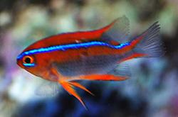 Paraglyphidodon_Sp_importfish