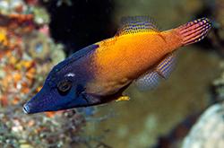Pervagor_Melanocephalus1_importfish
