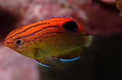 Pomacentrus_Bankanensis_importfish