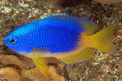 Pomacentrus_Caeruleus_importfish
