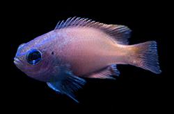 Pomacentrus_Smithi_importfish