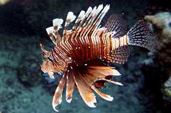 Pterois_Miles_importfish