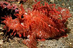 Rhinopias_Frondosa_importfish