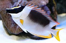 Siganus_Magnifica_Lo_importfish