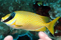 Siganus_Puellus_importfish