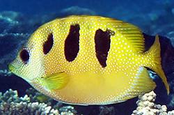 Siganus_Trispilos_importfish