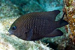 Stegastes_Variabilis_importfish