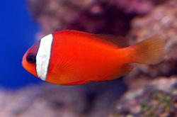 Tomato_Clownfish_importfish