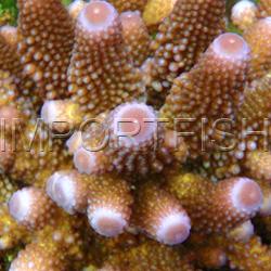 088_Acropora_humilis_importfish