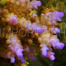 108_Acropora_divaricata_importfish