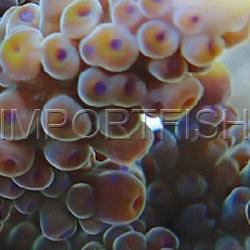 118_Acropora_parahemprichii_importfish