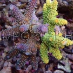 127_Acropora_aspera_importfish
