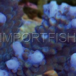 129_Acropora_austera_importfish