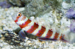 Amblyeleotris_Wheeleri_importfish