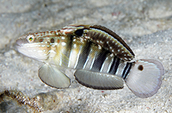 Amblygobius_Phalaena_importfish