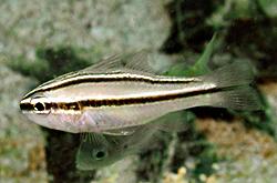 Apogon_Kiensis_importfish