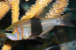 Archamia_Leai_importfish