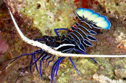 Blue-spiny_lobster_importfish