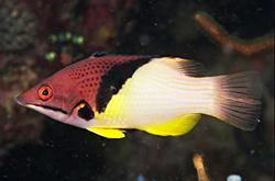 Bodianus_Mesothorax_importfish