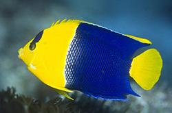 Centropyge_Bicolor_importfish