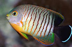 Centropyge_Eibli_importfish