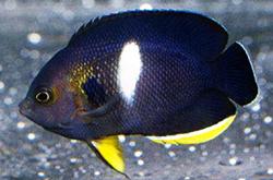 Centropyge_Tibicin_importfish