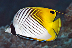 Chaetodon_Auriga_importfish