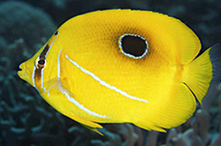 Chaetodon_Bennetti_importfish